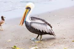 Pelikan på Ballestas öar, Peru Sydamerika i den Paracas nationalparken. Arkivbilder