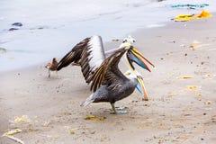 Pelikan på Ballestas öar, Peru Sydamerika i den Paracas nationalparken Royaltyfri Foto
