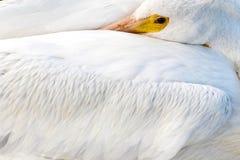 Pelikan på den Galveston ön, TX Arkivbilder