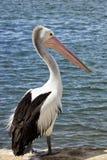 Pelikan på pir Arkivfoto