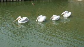 Pelikan płynie jeden po inny Obrazy Royalty Free