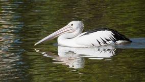 Pelikan pływa statkiem dla karmy Fotografia Stock