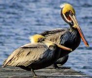 Pelikan-Paare, die auf einem Pier stillstehen Stockbilder