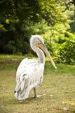 Pelikan Pelecanus crispus Stockbild