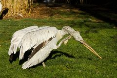 Pelikan Pelecanus philippensis Stockfotografie