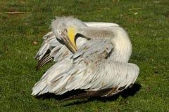 Pelikan Pelecanus philippensis Stockbilder