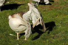 Pelikan Pelecanus philippensis Lizenzfreie Stockbilder