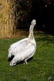 Pelikan Pelecanus philippensis Lizenzfreies Stockbild