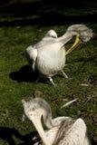 Pelikan Pelecanus philippensis Stockfoto
