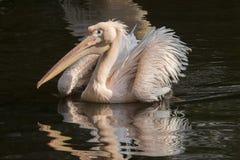 Pelikan Pelecanusonocrotalus, stor fågel arkivfoto