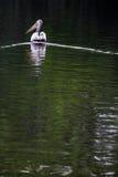Pelikan. Pelican water animal wild bird nature pelecanus white wildlife floating onocrotalus conspicillatus natural one nobody river lake black Stock Images