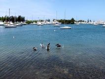 Pelikan plaskar med marina i bakgrundsmarina Royaltyfri Bild