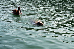 Pelikan po dziecko foka Fotografia Royalty Free