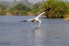 Pelikan pokrajać z wody Fotografia Royalty Free