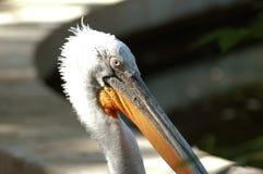 Pelikan-Porträt Lizenzfreies Stockbild