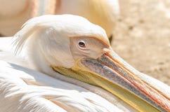 Pelikan-Porträt Lizenzfreie Stockbilder