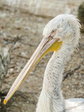 Pelikan-Porträt Stockbilder
