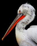Pelikan Portrait Lizenzfreie Stockbilder