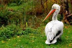 Pelikan Portrait Lizenzfreies Stockbild