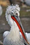Pelikan portrait Stock Image