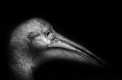 Pelikan portrait - black background Royalty Free Stock Images