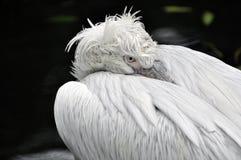 Pelikan portrait Royalty Free Stock Images