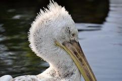 Pelikan portrait royalty free stock image