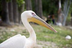 Pelikan portrait, outside. stock photo