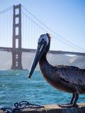 Pelikan pozuje z Golden Gate Bridge zdjęcia stock