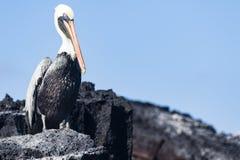 Pelikan pozycja na skale Zdjęcia Royalty Free