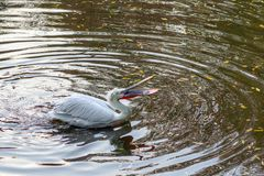 Pelikan próbuje łykać plastikową benzynową zapalniczkę w miasto stawie obraz stock