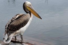 Pelikan przy jeziorem Obraz Royalty Free