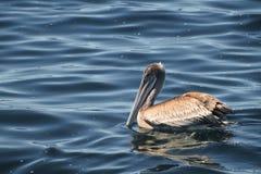 Pelikan przy morzem Fotografia Royalty Free