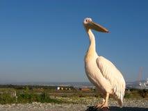 Pelikan przy morzem śródziemnomorskim! Zdjęcia Royalty Free