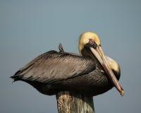 Pelikan przy odpoczynkiem Obrazy Royalty Free