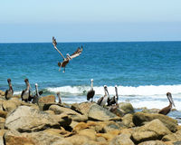 Pelikan-Punkt, Sonora, Mexiko Lizenzfreies Stockbild