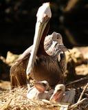 Pelikan rodziny czas Zdjęcia Royalty Free