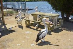 Pelikan runt om en picknicktabell i den Mallacoota stadskärnan Fotografering för Bildbyråer