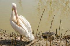 Pelikan säubert seinen großen Schnabel der Flügel Stockfoto