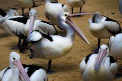 Pelikan ` s glückliche Füße Stockfotos