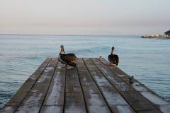 Pelikan Santo Domingo royaltyfria foton