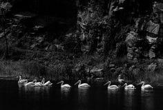 Pelikan Scape Royaltyfri Foto