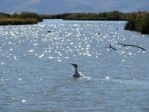 Pelikan-Schwimmen Lizenzfreie Stockfotos