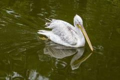 Pelikan schwimmt auf die Oberfläche des grünen Teichs in einem Zoo Lizenzfreies Stockfoto