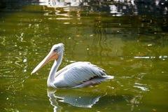 Pelikan schwimmt würdevoll in einen Teich Lizenzfreie Stockfotos