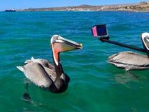 Pelikan-Seevogel-Haltungen für Kamera Lizenzfreie Stockfotos