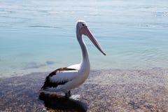Pelikan @ sjö Macquarie, Australien Arkivfoton
