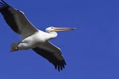 Pelikan skjuta i höjden i Arizona himmel Arkivfoto