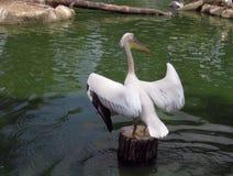 Pelikan som är klar att ta av Arkivbilder