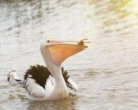 Pelikan som äter fisken i havet Arkivbild